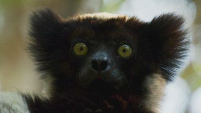 Gli Indri del Madagascar