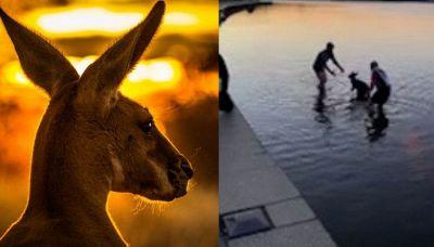 Salvano il canguro dall'acqua: la scena dolcissima