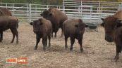 Martina e l'American Buffalo