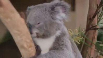 Australia, il photobombing della farfalla sul naso del koala
