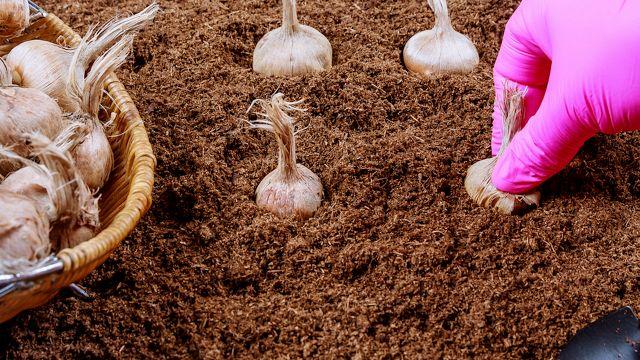 Settembre è il mese giusto per piantare lo zafferano, l'oro rosso'