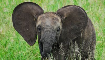 Elefanti gemelli nascono in Sri Lanka: non succedeva da 80 anni