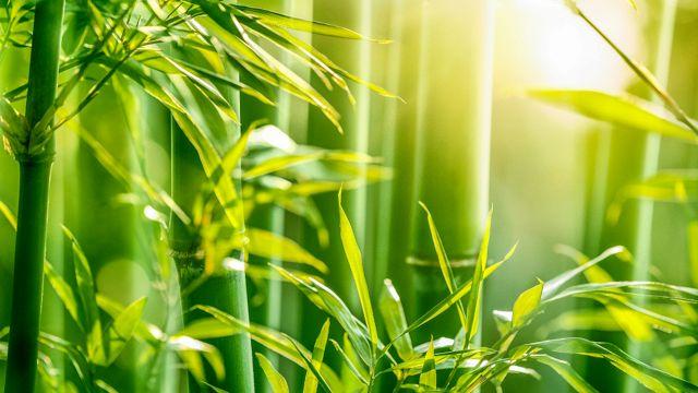 Bambù da siepe: un rischio per il vostro giardino?