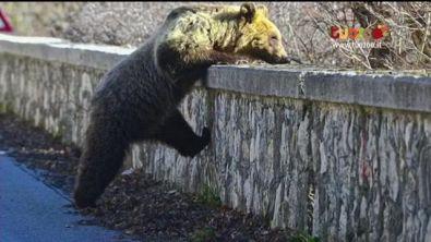 """Amici degli animali: """"Salviamo l'orso"""""""
