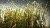 Cereale del mare, la scoperta che rivoluziona il modo di mangiare