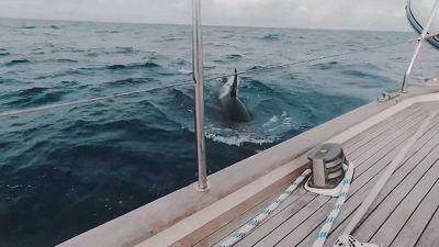 Il pauroso attacco delle orche allo yacht