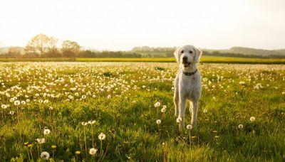 Allergici ai cani? Ecco le razze che fanno per voi