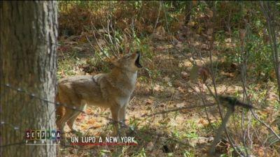 Un lupo a New York