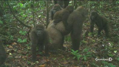 Il ritorno dei gorilla