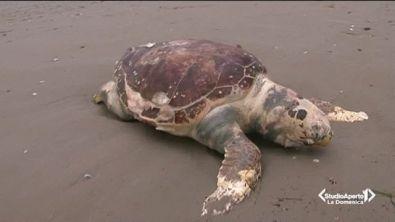 Moria di tartarughe nell'Adriatico