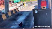 Il folle gesto della gallina al casello dell'autostrada