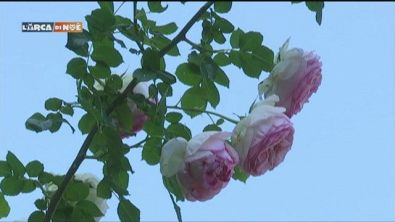 Rose principesche