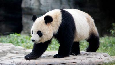 Il panda non è più una specie a rischio estinzione