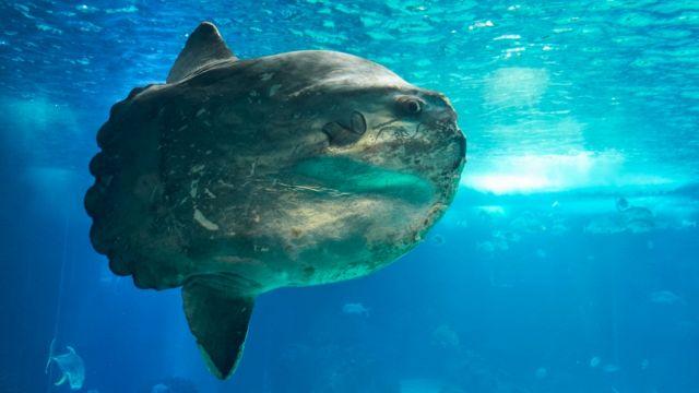 Trovano un pesce gigante: è un esemplare rarissimo