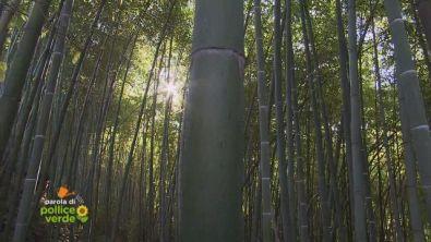 Sua altezza il bambù