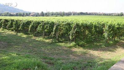 L'Italia resta leader del mondo del vino, ma cala la produzione