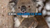 Midori è il koala in cattività più anziano di sempre