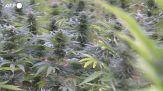 Cannabis legale in Lussemburgo, e' la prima volta in Europa