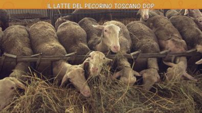 Il latte del pecorino toscano Dop