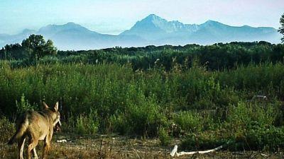 Quattro lupi avvistati nei boschi: l'evento rarissimo in Toscana