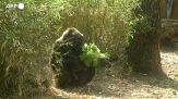 Nasce un cucciolo di gorilla in uno zoo brasiliano