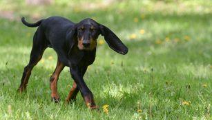 Lou è il cane con le orecchie più lunghe del mondo