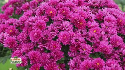 I crisantemi