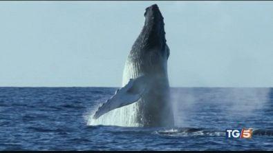 La caccia alle balene riprende il massacro