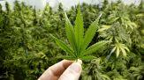 Cannabis, legalizzazione in un Paese Ue: dove