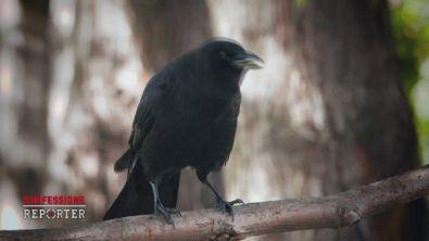 I corvi