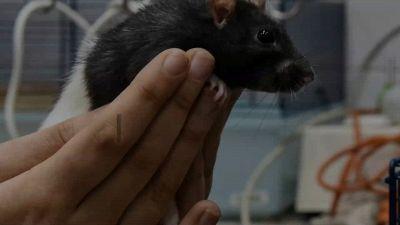Febbre da topo: cos'è e quali sono i sintomi dell'hantavirus