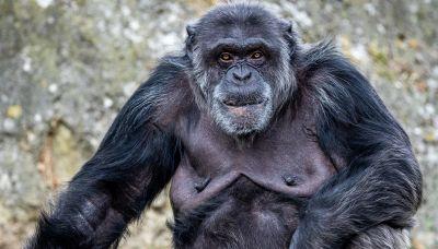Addio allo scimpanzé più anziano d'America