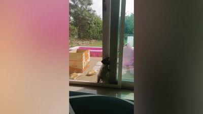 Il cane curioso si arrampica meglio di spider-man