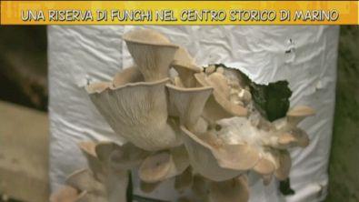 Una riserva di funghi nel centro storico di Marino