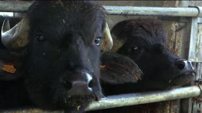 Tutti i segreti della mozzarella di bufala