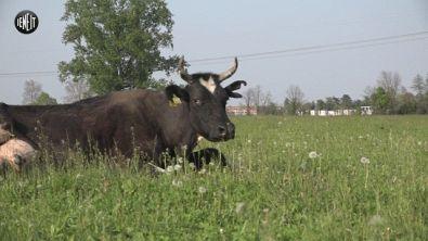 """""""Salvateci o ci abbattono"""": l'appello delle 100 mucche in ostaggio a Pasqua"""