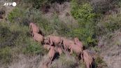 Cina, continua il viaggio del branco di elefanti, hanno percorso oltre 500 chilometri
