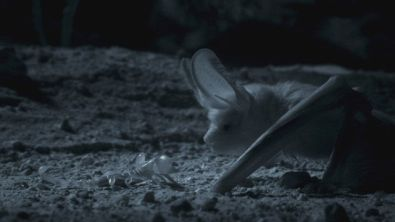 Otonycteris in caccia notturna