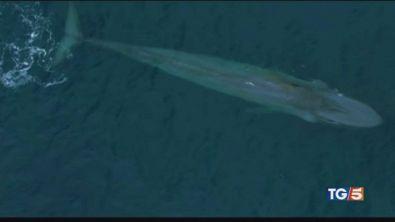 Il drone che svela i misteri delle balene