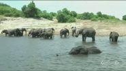 Strage di elefanti per un'alga