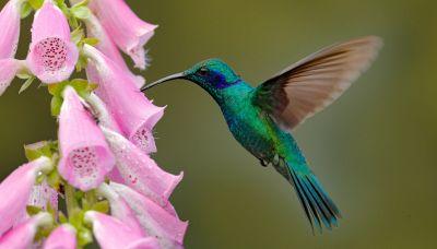 Le femmine di colibrì si 'travestono' per non essere molestate