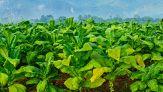 Il tabacco veniva usato già 12mila anni fa: la scoperta in USA