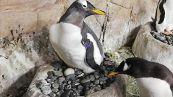 L'Acquario di Genova dà il benvenuto a 4 pulcini di pinguino