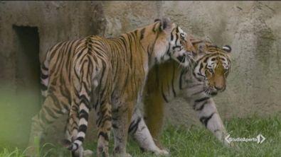 Tigri in estinzione, salviamole