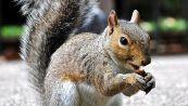 Due nuove specie di scoiattoli volanti scoperte sull'Himalaya