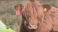 Allevamento bovino in Scozia