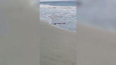 Sorpresa in spiaggia: trova un alligatore a riva, il video è virale