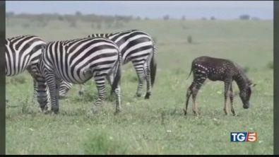 La zebra a pois esiste davvero!