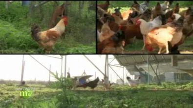 Pollo d'altri tempi