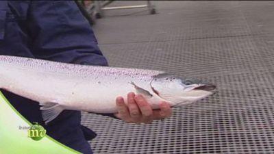 Salmone di Norvegia